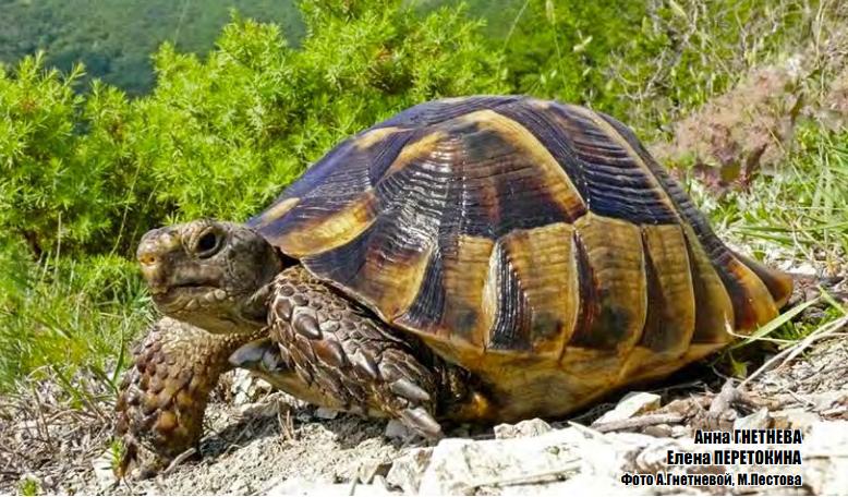 уход за средиемноморской черепахой
