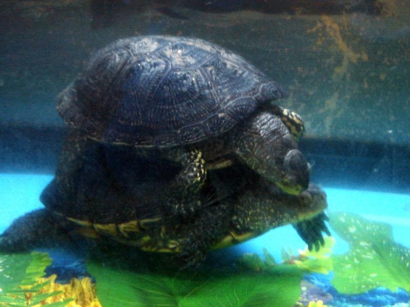 Как размножать черепах в домашних условиях 727