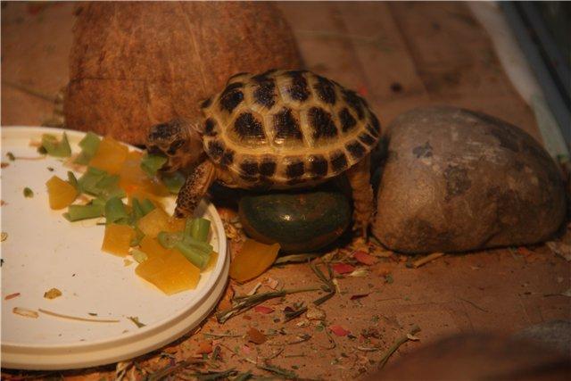 Как черепахи спариваются