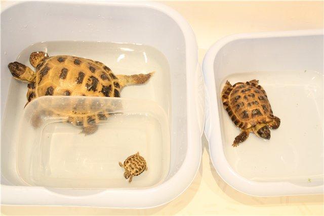 Размножение сухопутная черепаха в домашних условиях