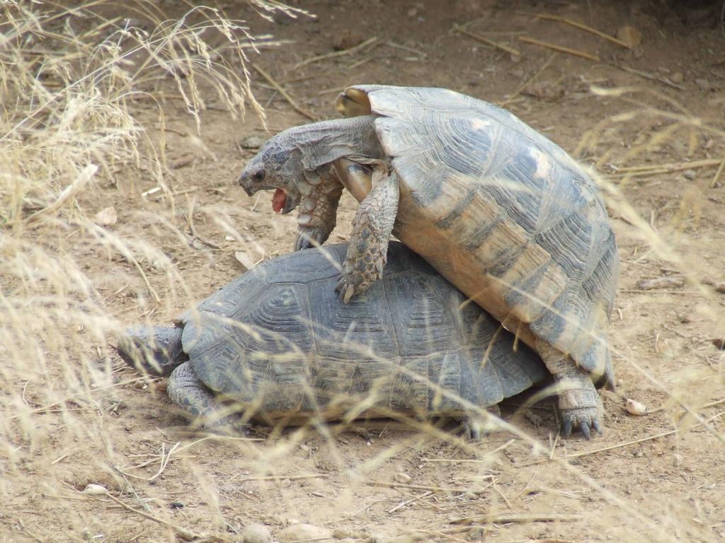 Стонут ли черепахи во время секса