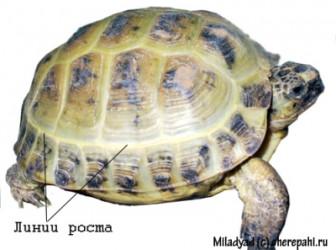 как определить возраст черепахи по панцырю только